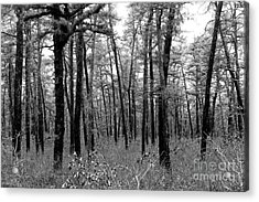 Through The Pinelands Acrylic Print by John Rizzuto