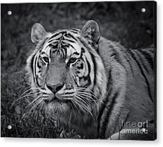 Tiger In The Grass Acrylic Print by Darcy Michaelchuk