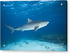 Tiger Shark Acrylic Print by Dave Fleetham - Printscapes