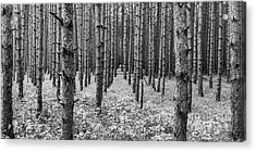 Timber Pines In Sleeping Bear Dunes Acrylic Print by Twenty Two North Photography