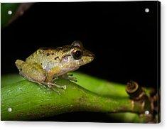 Tink Frog Diasporus Diastema Acrylic Print by Panoramic Images