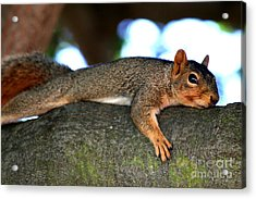 Tired Old Squirrel . R6622 Acrylic Print by Wingsdomain Art and Photography