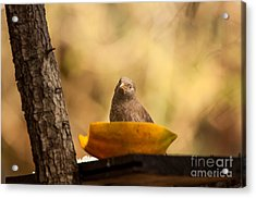 To Eat Or Not To Eat Acrylic Print by Venura Herath