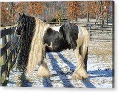 Traditional Gypsy Horse Acrylic Print by Fran J Scott