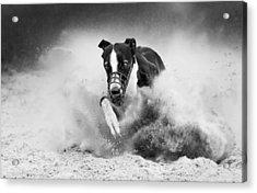 Training Greyhound Racing Acrylic Print by Muriel Vekemans