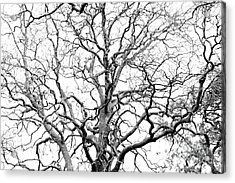 Tree Branches Acrylic Print by Gaspar Avila