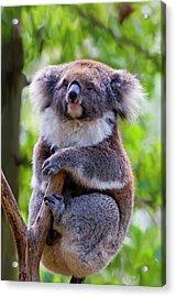 Treetop Koala Acrylic Print by Mike  Dawson