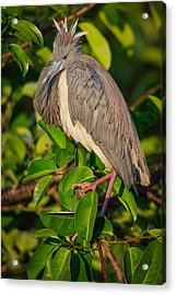 Tricolored At The Venice Rookery Acrylic Print by Andres Leon