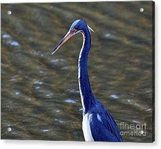 Tricolored Heron Pose Acrylic Print by Al Powell Photography USA