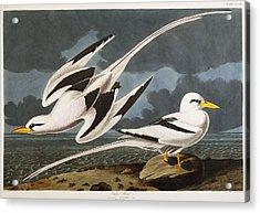 Tropic Bird Acrylic Print by John James Audubon