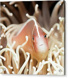 Tropical Fish Pink Clownfish Acrylic Print by MotHaiBaPhoto Prints