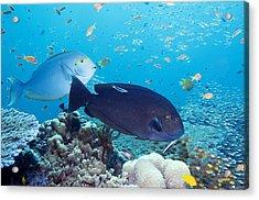 Tropical Reef Fish Acrylic Print by Georgette Douwma