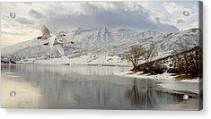 Trumpeter Swans Wintering At Deer Creek Acrylic Print by TL Mair