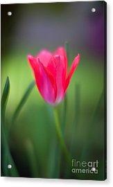 Tulip Amongst Acrylic Print by Mike Reid