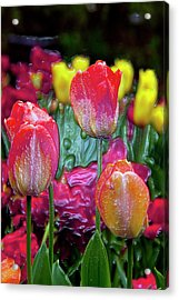 Tulip Candy Acrylic Print by Don  Wright