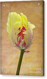 Tulip Acrylic Print by Marion Galt