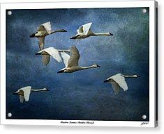 Tundra Swans Tundra Bound Acrylic Print by John Williams
