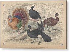 Turkeys Acrylic Print by Oliver Goldsmith