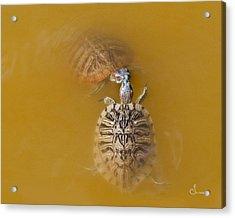 Turtle Kiss Acrylic Print by Sally Mitchell