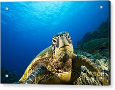 Turtle Stare Acrylic Print by Dave Fleetham - Printscapes