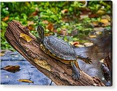 Turtle Yoga Acrylic Print by John Haldane