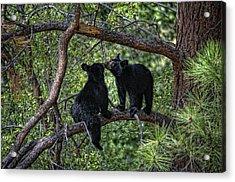 Two Bear Cubs Kissing Up A Tree Acrylic Print by Paul W Sharpe Aka Wizard of Wonders