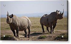 Two Black Rhinos In Solio Rhino Acrylic Print by Robin Moore