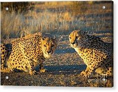 Two Cheetahs Acrylic Print by Inge Johnsson