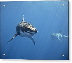 Two Great White Sharks Acrylic Print by Photo by George T Probst