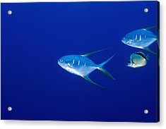 Two Pompano Fish And A Cleaner Fish Acrylic Print by James Forte