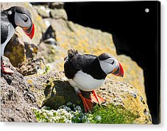 Two Puffins In Iceland Acrylic Print by Matthias Hauser