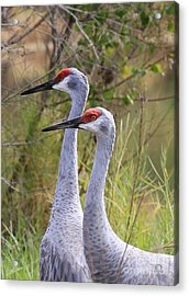 Two Sandhills In Green Acrylic Print by Carol Groenen