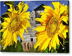 Two Sunflowers Acrylic Print by Donald  Erickson