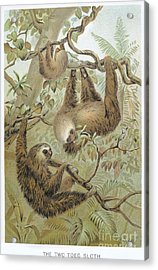 Two-toed Sloth Acrylic Print by Granger