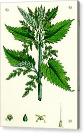 Urtica Dioica Common Nettle Acrylic Print by Unknown