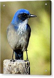 Utah Bird Acrylic Print by Marty Koch