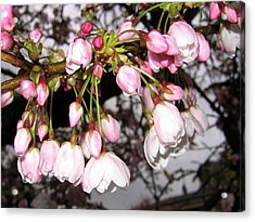 Vancouver Cherry Blossoms Acrylic Print by Will Borden