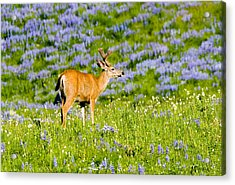 Velvet On Lupine Acrylic Print by Mike  Dawson