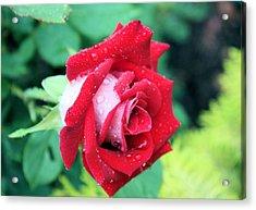 Very Dewy Rose Acrylic Print by Kristin Elmquist