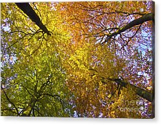 View To The Top Of Beech Trees Acrylic Print by Heiko Koehrer-Wagner