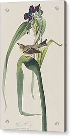 Vigor's Warbler Acrylic Print by John James Audubon