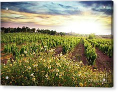 Vineyard Acrylic Print by Carlos Caetano