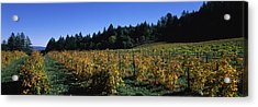 Vineyard In Fall, Sonoma County Acrylic Print by Panoramic Images
