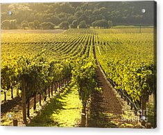 Vineyard In Napa Valley Acrylic Print by Diane Diederich