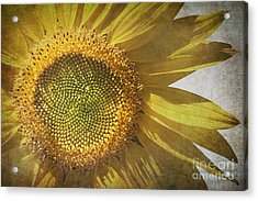 Vintage Sunflower Acrylic Print by Jane Rix