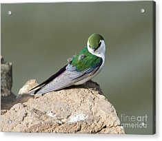 Violet-green Swallow Acrylic Print by Mike Dawson
