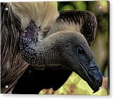 Vulture Acrylic Print by Martin Newman