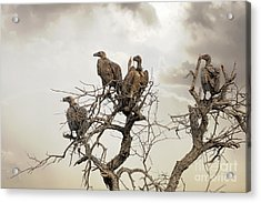 Vultures In A Dead Tree.  Acrylic Print by Jane Rix