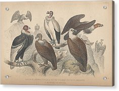 Vultures Acrylic Print by Oliver Goldsmith