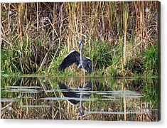 Wading In Heron Acrylic Print by Cathy  Beharriell